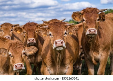 herd of limousine cows in the countryside