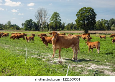 A herd of limousine cows on a green pasture