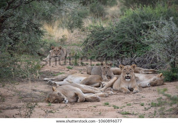herd of lionesses resting, Namibia, Africa
