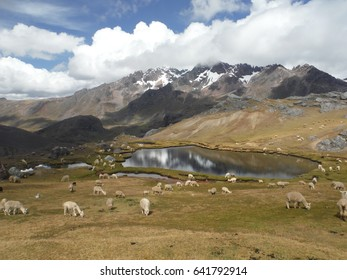 herd of llamas in the PERUVIAN ANDES