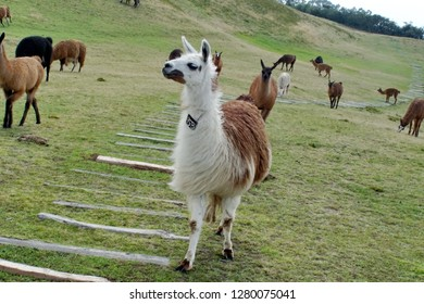 Herd of llamas at the pre-Colombian ruins of Cochasqui, outside Quito, Ecuador