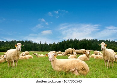 Herd with lots of sheep