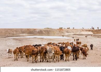Herd of Maasai Cows walking in a dry land.