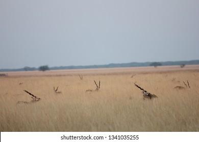 Herd of male blackbucks at blackbuck national park, velavadar, Gujarat