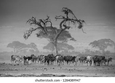 Herd of Masai cows at  african savannah