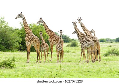 "herd of Masai Giraffe (Giraffa camelopardalis tippelskirchi or ""Twiga"" in Swaheli) in the Serengeti National park,Tanzania"
