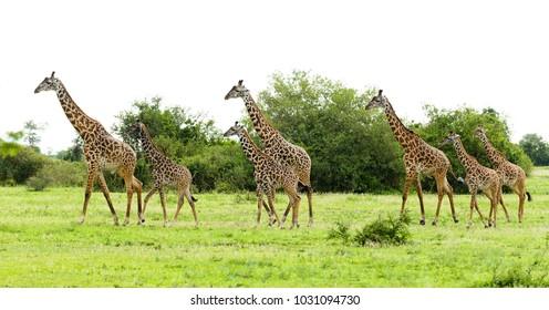 "herd of Masai Giraffe (Giraffa camelopardalis tippelskirchi or ""Twiga"" in Swaheli)  located n the Serengeti National park,Tanzania"