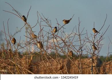 A herd of mazurkas is sitting on the bush, Passer montanus