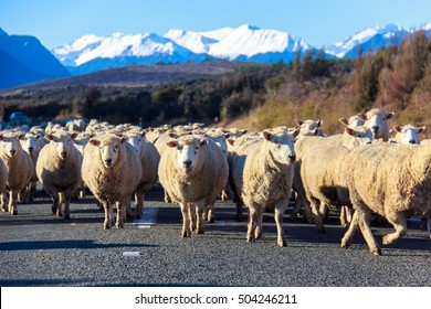 A herd merino sheep on the road