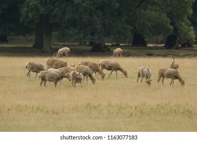 A herd of Milu Deer (also known as Pére David's Deer) (Elaphurus davidianus) grazing in a field at the edge of woodland.