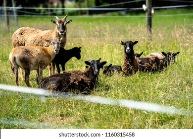Herd of mouflons with lambs on a meadow on the farm