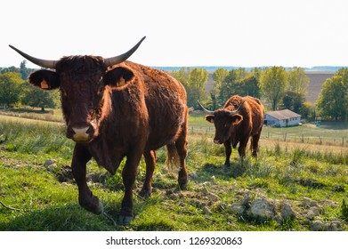 Herd of mountain cow of Salers breed