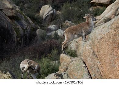 A herd of mountain goats in La Pedriza. Sierra de Guadarrama National Park. Madrid's community. Spain
