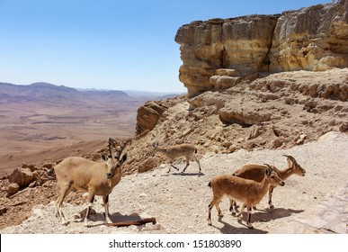 herd of mountain goats on the slopes of the crater Makhtesh Ramon, Israel