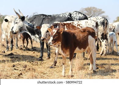 A herd of multi-colored Nguni cows standing on dry grass in South Africa
