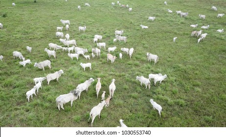 Herd of Nelore cattle from above