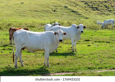 Herd of Nelore cattle being bred for fattening. Brazil's livestock and economy. Nellore