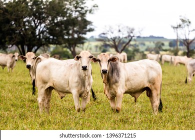 Herd of Nelore cattle in breeding for fattening. Livestock of Brazil and economy.