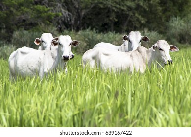 Herd of Nelore cattle grazing in a pasture