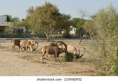 Herd of Nubian ibex (Capra nubiana) in Sde Boker