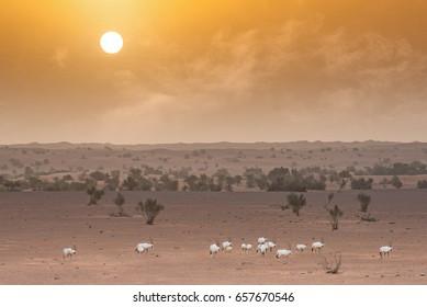 herd a Oryx walking in desert during sunrise.