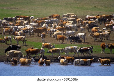 Herd ov cows