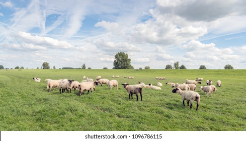 Herd of partly black-faces sheep in a pasture in front of the dike in a Dutch polder. It is a sunny day in the summer. Beautiful white clouds and contrails are visible against a blue sky.