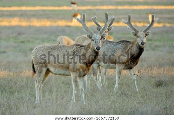 herd-pere-davids-deer-elaphurus-600w-166