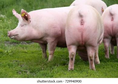 Herd of pigs grazing at bio eco animal farm