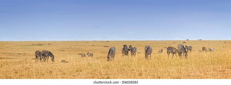 Herd of plain zebras in savannah of Masai Mara National Reserve, Kenya