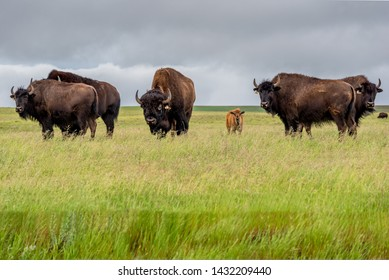 A herd of plains bison with a baby calf in a pasture in Saskatchewan, Canada