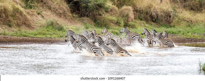 A herd of Plains Burchells zebra run in the shallows of the Mara River, Masai Mara, Kenya. They have been spooked by a predator and are heading for safety on the bank. Popular social media banner size