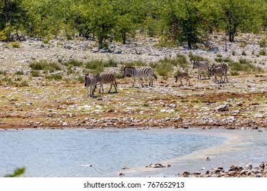 herd of plains zebra (Burchells zebra), Etosha national park, Namibia