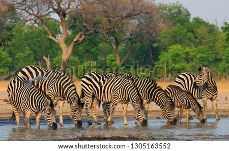 herd-plains-zebra-heads-down-450w-130516