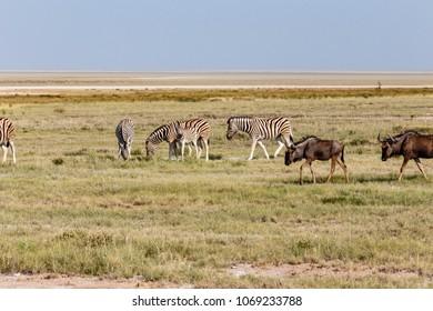 Herd plains zebras and blue wildebeest, Etosha National Park, Namibia