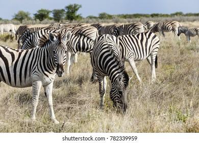 Herd plains zebras (Equus quagga), Etosha National Park, Namibia