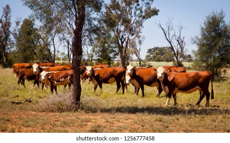 Herd of Polled Hereford cows in a field with trees in queensland australia. Turn to look at camera. Hornless cattle.