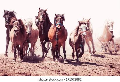 A herd of ponies running in the wild pony race