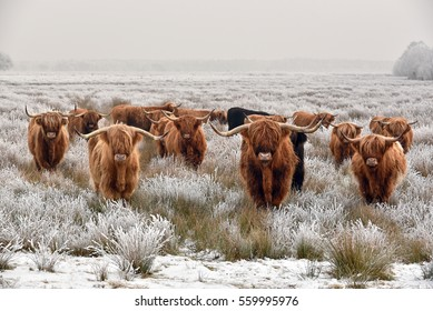 Herd of red brown Scottish highlanders in a natural winter landscape.