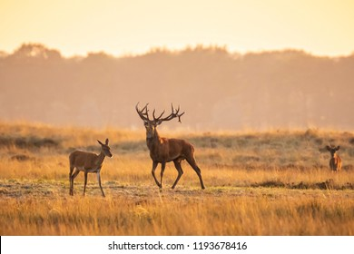 Herd of red deer cervus elaphus rutting and roaring during sunset, rutting during mating season on a a landscape with hills, fields and a beautifull sunset