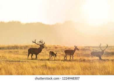 Herd of red deer cervus elaphus rutting and roaring during sunset, rutting during mating season on a landscape with hills, fields and a beautifull sunset