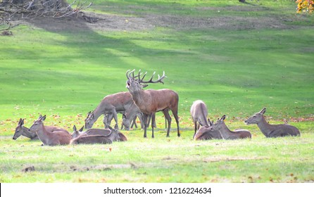 Herd of red deer during the rutting season