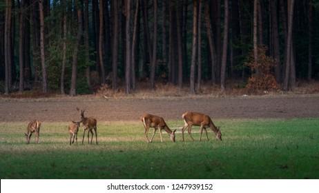 Herd of red deer grazing on the meadow