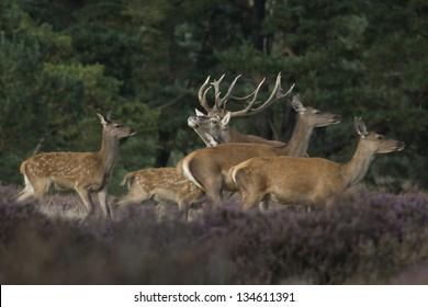 Herd of red deer, Netherlands
