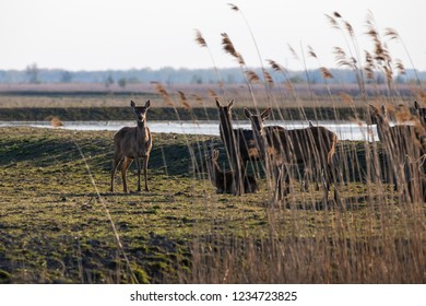 Herd of red deer in reed and grasslands at the nature conservation park Oostvaardersplassen, Netherlands