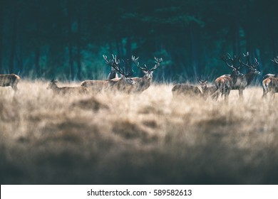 Herd of red deer in tall yellow grass.