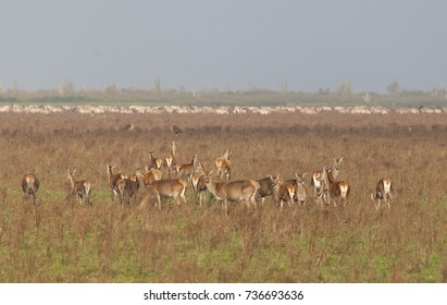 Herd of red deers in oostvaardersplassen