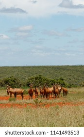 Herd of Red hartebeest standing together in the field on a cloudy day