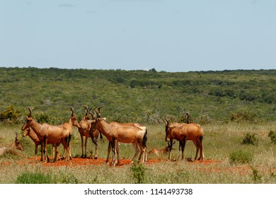 Herd of Red hartebeest standing together in the field