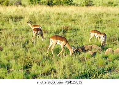 Herd of red lechwe in Pilanesberg Game Reserve